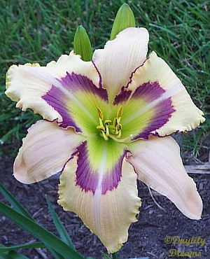 Seven Angels daylily